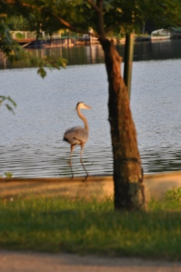 heron at lake garrison