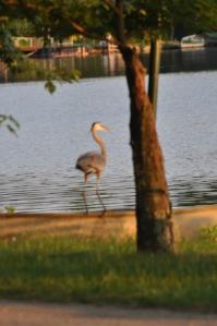 heron at lake garrison